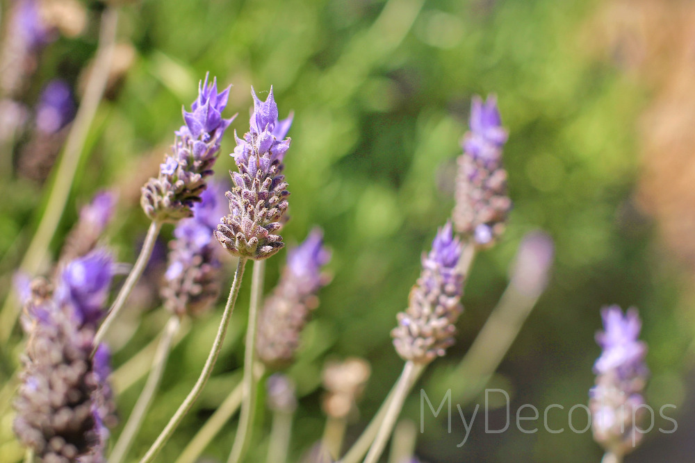 Lavender plant to decorate interiors and gardens